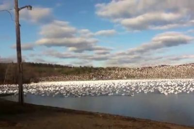 10,000 Snow Geese Taking Off Together Is So Satisfying To Watch