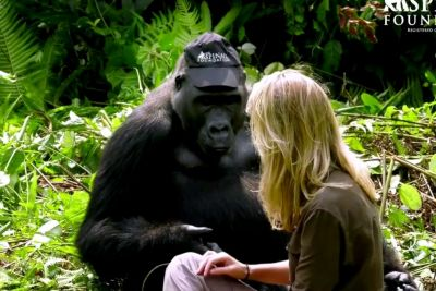 Man Visits Wild Gorillas He Raised As Babies, But Watch As He Introduces His Wife