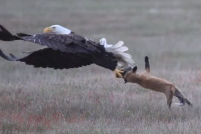 Fox Catches A Rabbit, Gets Absolutely Wrecked By A Hungry Eagle