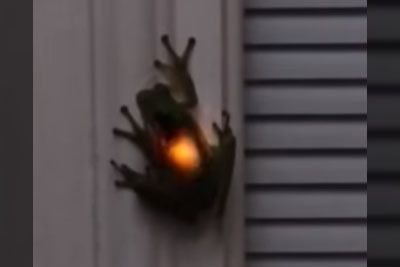 Frog Eats A Firefly, Result Is The Blinking Light In Frog's Stomach