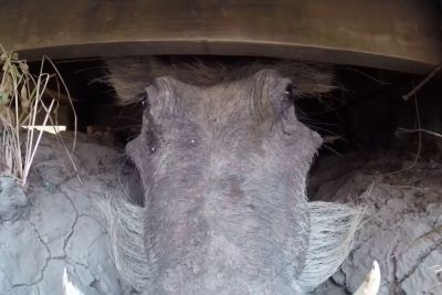 Man Accidentally Got Too Close To Warthog In Africa, Tapes Scary Move On Camera