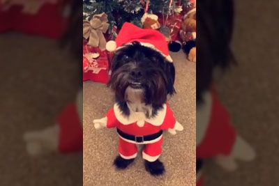 Owner Puts A Christmas Outfit On Her Dog, Can't Stop Laughing