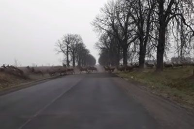 Road In Hungary Gets Blocked By Deers Running To The Other Side