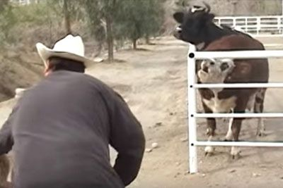 Cow Won't Stop Crying For Her Missing Baby Then Looks Through The Fence And Loses Control