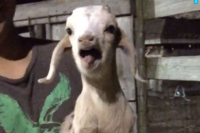 Clumsy Baby Farm Animals Gone Wild, Footage Is Hilarious