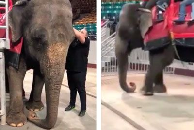 Circus Elephant With Trunk Paralysis And Joint Problems Forced To Give Rides To Families