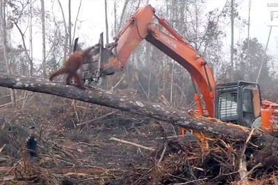 Heartbreaking Moment As Orangutan Tries To Fight An Excavator Destroying Its Habitat