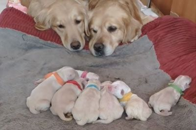 Golden Retriever Parents Watching Over Their Newborn Puppies Is So Calming