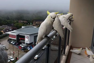 Man Captures Morning Routine When Cockatoos Come On His Balcony From All Around