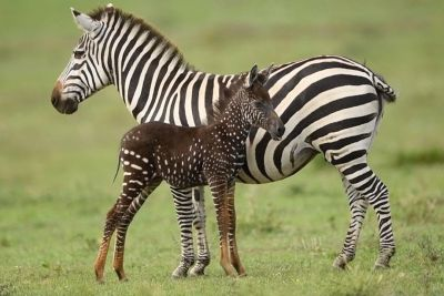Rare Zebra Foal Born In Kenya With Unique Spotted Coat