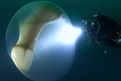 Divers Film A Rare Glimpe Of Giant Squid Egg With Thousands Of Babies Inside