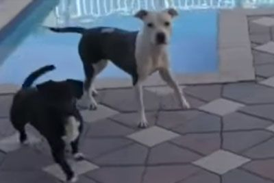 Dog Told Not To Jump In Pool, Jumps In Immediately