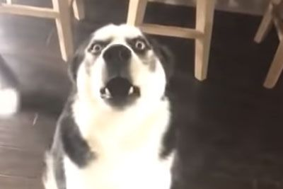 Husky Tries To Talk His Way Out Of Trouble After Getting Into The Trash