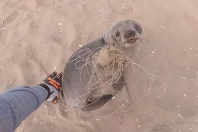 Entangled Baby Seal Thanks His Rescuers