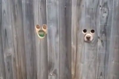Woman Is Left In Laughter Seeing A Hilarious Scene At Neighbour's Fence
