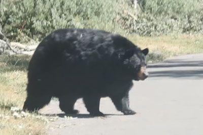 Chunky Bear Strolls Across Road In Idaho
