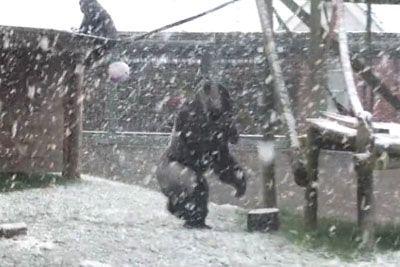 Zoo Gorilla Has Delightful Reaction To Heavy Snow