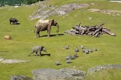 Baby Elephant Chasing Birds In Adorable Video