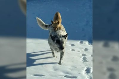 Chihuahua Chooses Piggyback Ride Over Walking In Snow