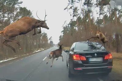 Deer Cross The Road, One Of Them Jumps Up To A Car's Trunk