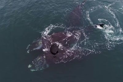 Endangered Whales 'Hugging' In Cape Cod Bay