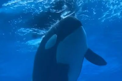 Orca Living In Captivity Since 1979 Spends Her Days Floating In A Pool