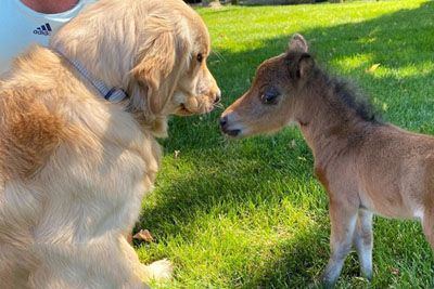 Mini Horse Tries So Hard To Make His Very First Friend