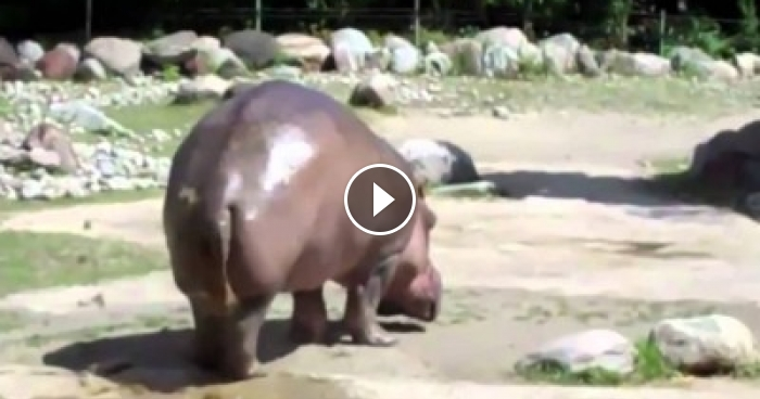 This World's Biggest Fart By The Hippo Is So Funny You'll