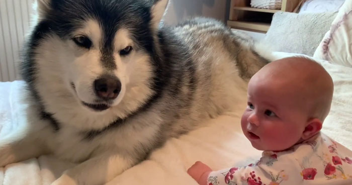Malamute Dog Tries To Teach Baby How To Crawl Klipland Com M5 0qq england feel free to contact us for any business enquiries or content usage. malamute dog tries to teach baby how to